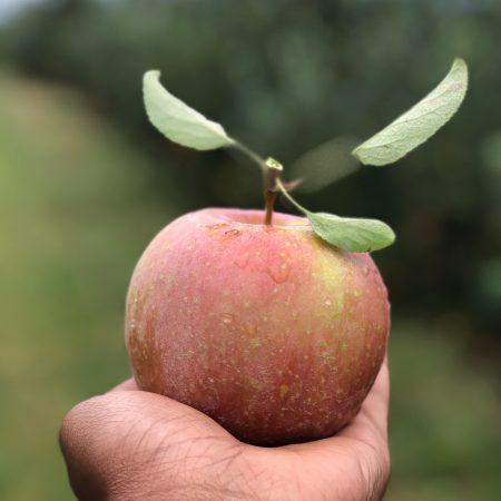 Oh les belles pommes !